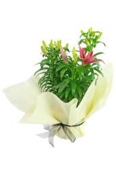 Lovely LA Lily