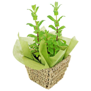 Mint Plant in a Basket