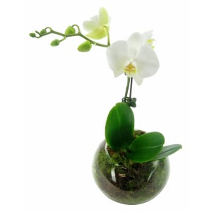 Orchid Fishbowl - White
