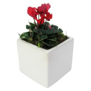 Adorable Mini Cyclamen