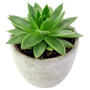 Elegant Succulent