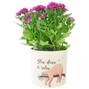 Charismatic Chrysanthemum