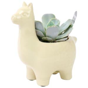 Llama Drama Succulent