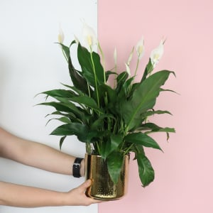 Golden Peace Lily