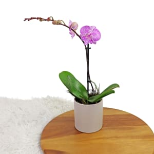 Simplicity Orchid - Pink