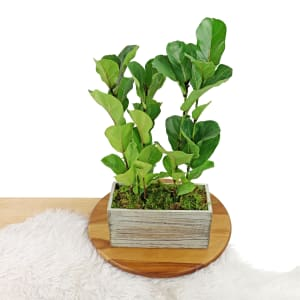 Fiddle-Leaf Fig Planter