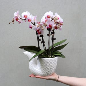 Mermaids Tail - Orchids