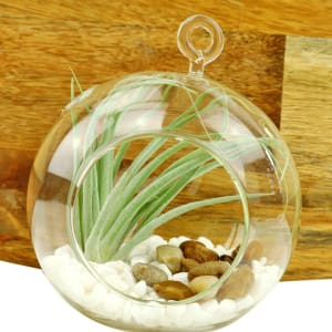 Airplant In An Orb