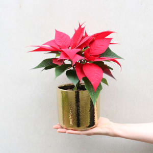Gold and Red Poinsettia