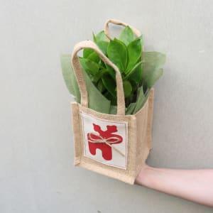 Festive ZZ Plant