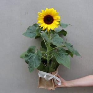 Potted Sunflower Splendour
