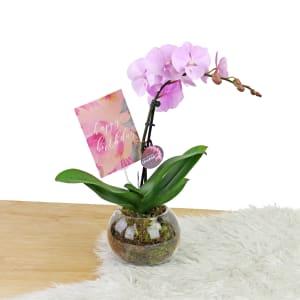 Birthday Orchids