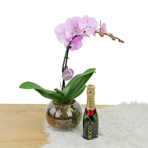 Champagne & Orchid