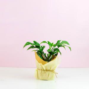 Mini Split Leaf