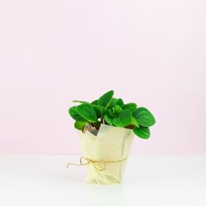 Peperomia Rana Verde