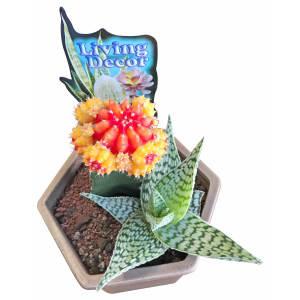Cacti in Ceramic Pot - Latte