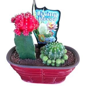 Cacti In Ceramic Pot - Red