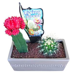 Cacti In Ceramic Pot - Grey