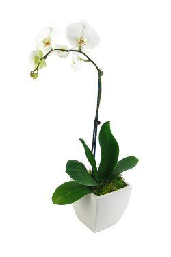 Phalaenopsis Orchid - Standard