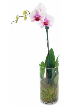 Phalaenopsis orchid in vase - Standard