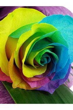 Rainbow Roses - Standard