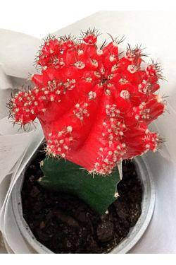 Desert Fire Cactus - Standard