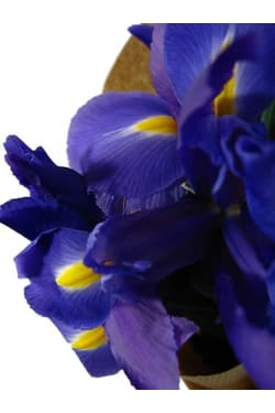 Iris - Standard