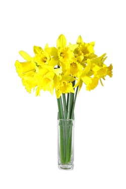 Daffodils in a Vase  - Standard
