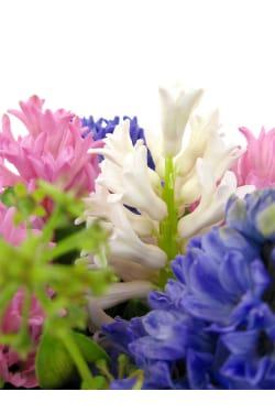 Hyacinths - Standard