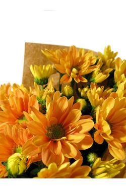 Chrysanthemums - Standard