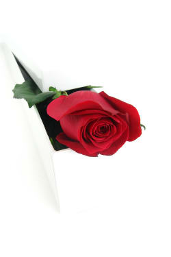 Single Elegant Rose - Standard