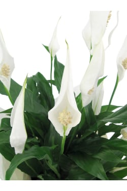 Peace Lily - Standard
