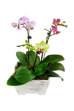 Potted Orchid Planter box - Standard