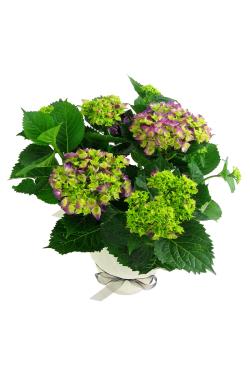 Hydrangea Plant - Standard