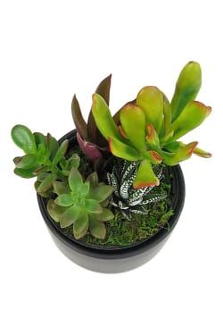 Mixed Succulent Pot - Standard