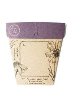 Swan River Daisy Seeds - Standard