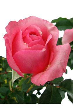 La Vie En Roses - Standard