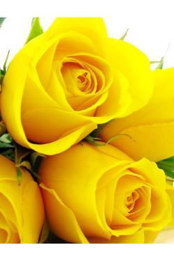 Yellow Roses - 6 Roses (Half Dozen)