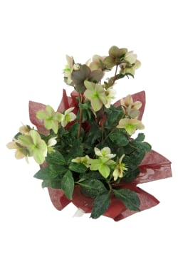Winter Rose Potted Plant - Standard