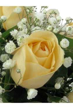 Apricot Sorbet Roses - Standard