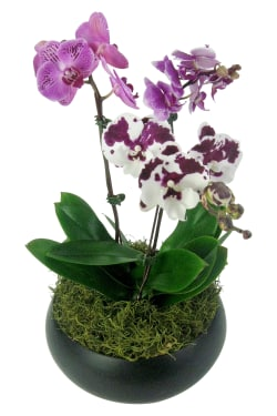 Exotique Orchid Planter - Standard