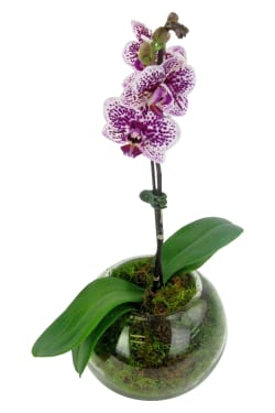 Purple Spotted Orchid - Standard