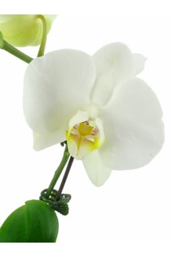 White Orchid In Fishbowl - Standard