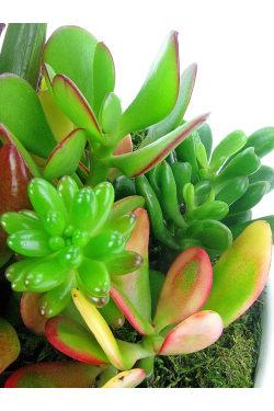 Superb Succulent Garden - Standard