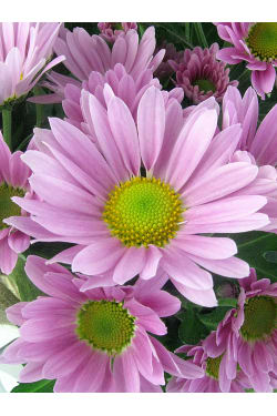 Soft Pink Chrysanthemum - Standard