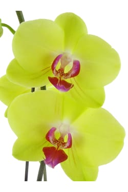 Large Yellow Phalaenopsis - Standard