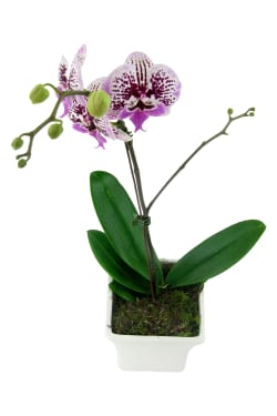 Large Spotty Phalaenopsis  - Standard