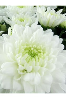 Stay Sweet Large Chrysanthemum - Standard