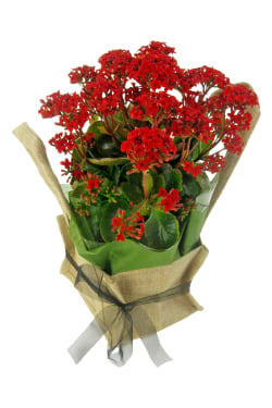 Red Kalanchoe In Hessian Bag - Standard