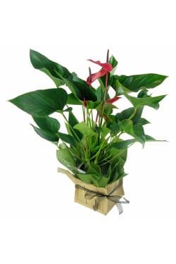 Alluring Anthurium Plant  - Standard